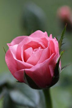 Miniature pot rose by Brian Valentine