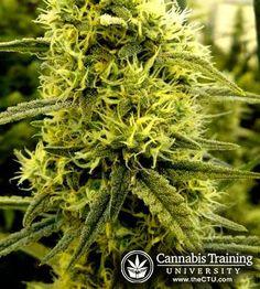 So healthy and green! | cannabistraininguniversity.com