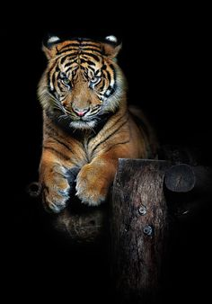 """Hutan (one year old Sumatran Tiger)"" by Art X, via 500px. This young cub was lazing around before he finally sat up and took notice of my camera. As tigers are solitary creatures in the wild the four cubs, now a year old, would be separated soon, and destined for other zoos to take part in regional zoo breeding programs"