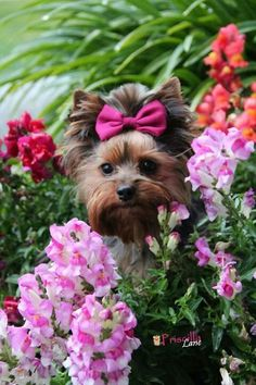 Priscilla of Owned By Yorkies