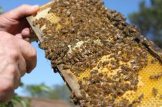 How to Capture Swarming Honey Bees