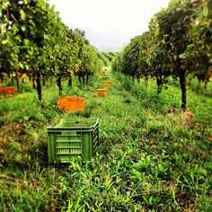 """Ready to go! #harvest 2013. #franciacorta #vino #wine #italianwine #italy #italia #hardwork #enjoy #instaitalia #instapic #instawow #instacool #instagood #like #love #winelovers #lovewine #picoftheday #photooftheday #tagstagram #tag #nature #green #grapes #summer #winemaking"""