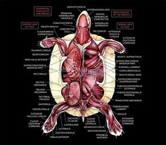 Slider turtle anatomy (muscle layer) -- Zoological Education Network and DVM Veterinary Magazine