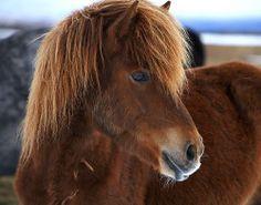 Pony Like Icelandic
