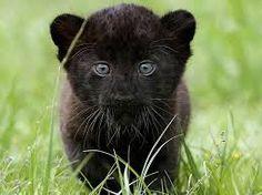 Afbeeldingsresultaat voor zwarte jaguar dier