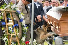 "Police dog, Figo, pays last respects to his fallen partner, Officer Jason Ellis. Police Chief Rick McCubbin told the Associated Press that Figo and Ellis were ""true partners."" Figo has been retired and will live with Ellis' family. War Dogs, Military Dogs, Police Dogs, Soldado Universal, Jason Ellis, K9 Officer, Fallen Officer, Vida Animal, Son Chat"