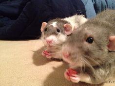 How to Make Yogurt Drops for Pet Rats -- via wikiHow.com