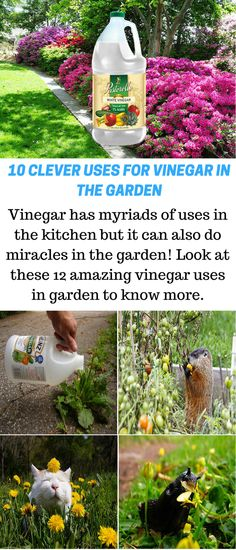 10 Amazing Vinegar Uses In The Garden - Gardening Tips Hydroponic Gardening, Hydroponics, Organic Gardening, Gardening Tips, Urban Gardening, Vegetable Gardening, Organic Insecticide, How To Clean Rust, Acid Loving Plants