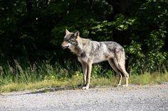 Someone must be feeding him.... he got too close for comfort even in a vehicle! #wolf #killarney #killarneyprovincialpark #animal #canada150 #ontario #canada #killarney #nature #wildlife #green #truenorth #kakakiselake #cracktrail #thecracktrail