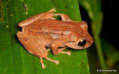 Fleshbelly Frog, (Pristimantis delius?), by Ecuador Megadiverso on Flickr (cc)