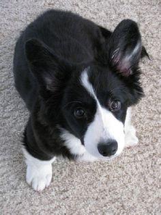 corgi puppies black and white | Zoe Fans Blog