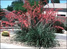 hesperaloe -- plant in the fall and winter