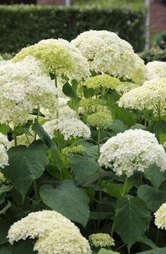 Hortensia Annabelle Flower Garden, Ideal Gardens, Planting Flowers, Beautiful Blooms, White Gardens, Peonies And Hydrangeas, Moon Garden, Hydrangea, Beautiful Gardens