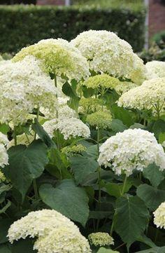 Hortensia Annabelle bloeien de hele zomer.