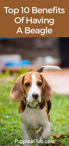 Beagle is the most popular dog breed in the US known to be loving, friendly gentle and intelligent. Top 10 Benefits Of Having A Beagle Source by puppiesclub The post Top 10 Benefits Of Having A Beagle appeared first on Flynn Dogs. Hound Dog Puppies, Beagle Dog Breed, Beagle Funny, Baby Beagle, Baby Puppies, Dogs And Puppies, Beagle Facts, Dog Facts, Lemon Beagle Puppy