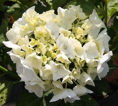 HYDRANGEA macrophylla 'Immaculata' Hydrangea Macrophylla, Plants, Hydrangeas, Plant, Planting, Planets, Hydrangea