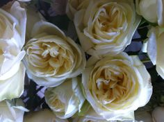 White Polo Roses, South American Rose that opens to look like a garden rose, #WhiteRoses