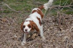 Calla is an adoptable Cavalier King Charles Spaniel Dog in Salt Lake City, UT. LIKE us on FACEBOOK for more info..... This little girl is a puppy mill refuge. She is 4 years old and ready for her fore...