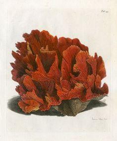 John Ellis, Coral, 1776