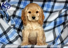 Dexter – Cocker Spaniel Puppies for Sale in PA | Keystone Puppies