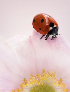 Ladybug  by Mandy Disher, via Flickr