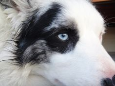 Moko Blue Merle Border collie | Pawshake