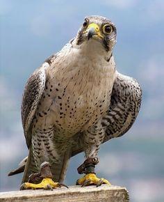 Kerecsensólyom - Saker Falcon - Falco Cherrug - Hungarian Ancient Symbol Falcon Hawk, Peregrine Falcon, Pretty Animals, Ancient Symbols, Raptors, Falcons, Otters, Pet Birds, Budapest