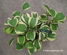 Full size picture of Wax Hearts, Sweetheart Hoya, Valentine Hoya, Wax Plant, Porcelain Flower 'Variegata' (Hoya kerrii)