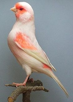 Identification of Red & Red Ivory Lipochrome Kinds Of Birds, All Birds, Love Birds, Most Beautiful Birds, Pretty Birds, Exotic Birds, Colorful Birds, Canary Birds, Wild Creatures
