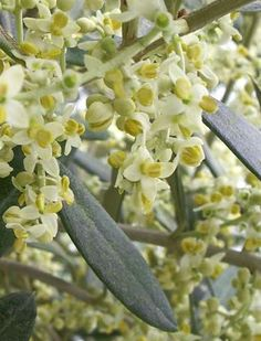 Olive (Ulivo)  This must be the olive flower.... very pretty also. ltutu