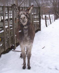 Love that donkey smile :-) Farm Animals, Animals And Pets, Funny Animals, Cute Animals, Wild Animals, Cute Donkey, Mini Donkey, Donkey Donkey, Donkey Funny