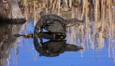 An alligator and turtles together in a pond.