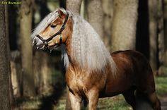 Haflinger horse stallion