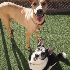 SENIOR SUNDAY! Looking for more love in your life? @susiesseniordogs has the ticket! Brody and Riley have so much love to share! These two brother were surrendered to the public shelter in Phoenix, Arizona when their former owner lost their home. They are both 8 years old and spent their entire life with each other. The shelter is trying to find them a home together as Brody and Riley would be heartbroken if separated. Brody is a Pharaoh Hound/Shar Pei mix and Riley is a Jack Russell Terrier…