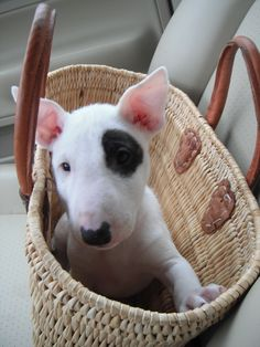 mini english bull terrier..they are the most adorable dogs EVER!