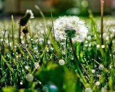 ceai-de-papadie Facebook Timeline Photos, Fb Covers, Cover Photos, Dandelion, Landscape, Nature, Flowers, Mai, Wallpapers