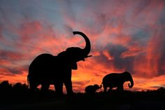 Find Elephants Enjoy Spectacular Sunset On Serengeti stock images in HD and millions of other royalty-free stock photos, illustrations and vectors in the Shutterstock collection. Thousands of new, high-quality pictures added every day. Elephant Family, Elephant Love, Best Sunset, Beautiful Sunset, Beautiful Family, Beautiful Creatures, Animals Beautiful, Bd Art, Elephant Silhouette
