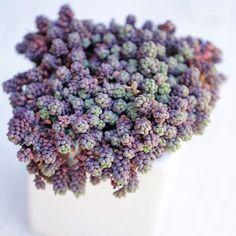 Sedum dasyphyllum 1960110_889467357784100_5349858116652278133_n