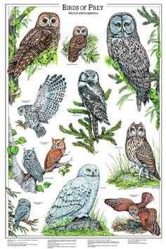 Birds of Prey Poster and Identification Chart Vol. 1 - Eagles and Hawks – Charting Nature Owl Bird, Bird Art, Pet Birds, Western Screech Owl, Owl Illustration, Art Illustrations, Spotted Owl, Saw Whet Owl, Bird Identification