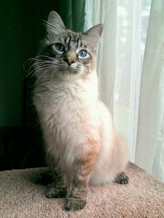 Marlin (lynx point ragdoll)