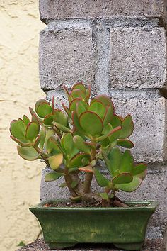 Jade Bonsai Crassula Ovata andreasfancyplants -- I love the delicate edging in red. Jade Plants, Catus Plants, Plants, Miniature Fairy Gardens, Cool Plants, Cacti And Succulents, Container Gardening, Jade Bonsai, Planting Succulents