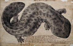 """Philipp Franz von Siebold was a German physician and natural-history collector who visited Japan in the 19th century. He included this drawing of a big amphibian in Fauna Japonica, a lavish five-volume series of monographs representing the specimens he found. """"The artist's role in scientific collections was more valued and crucial 200 years ago,"""" says Purcell. """""""