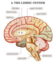 Brain Limbic System with Amygdala, Hippocampus and Olfactory Bulb