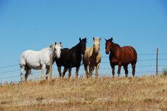 Four horses in the Dakotas