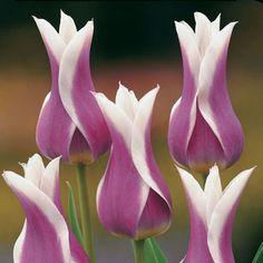 Si queréis ver más variedades... http://www.hogarutil.com/jardineria/fichas/plantas/201208/variedades-tulipanes-16145.html