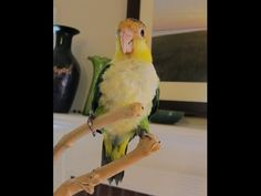 Georgina 16 week old Baby Caique - YouTube