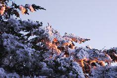 sunset on snowy pine trees.jpg (600×400)