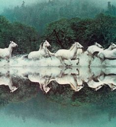 of the Wild White Horses of France Running Through Water. All The Pretty Horses, Beautiful Horses, Animals Beautiful, Cute Animals, Zebras, Majestic Horse, White Horses, Equine Art, Horse Pictures