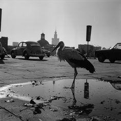 a stork in Warsaw (60's). by Eustachy Kossakowski
