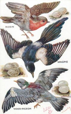 Full Sized Image: ROBIN, MAGPIE, WOOD-PIGEON & their eggs - TuckDB